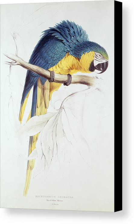 Parrot Canvas Print featuring the painting Blue And Yellow Macaw by Edward Lear