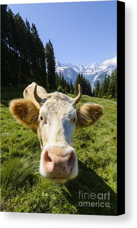 Simmental Canvas Print featuring the photograph Swiss Cow by Oscar Gutierrez