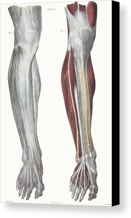 Leg Nerves Canvas Print / Canvas Art by Sheila Terry