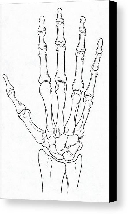Bones In Wrist Image Collections Human Anatomy Diagram