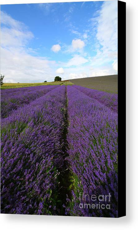 Lavender Canvas Print featuring the photograph Lavenders by Milena Boeva
