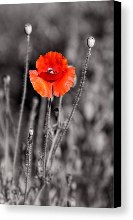 Plants Canvas Print featuring the pyrography Texas Hot Poppy With Black And White by Linda Phelps
