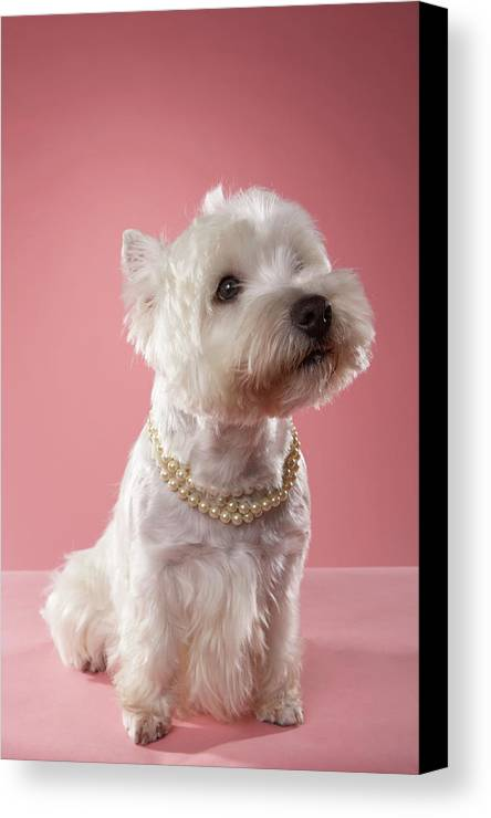 Vertical Canvas Print featuring the photograph West Highland Terrier Wearing Pearl Necklace by Chris Amaral