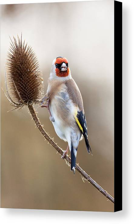 Goldfinch Canvas Print featuring the photograph Goldfinch On Teasle by Bob Kemp