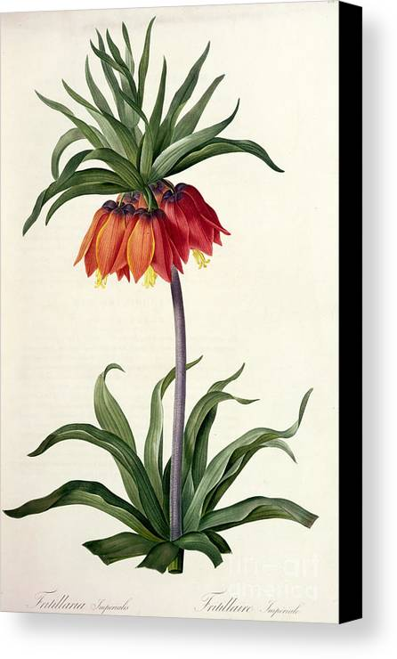 Fritillaria Canvas Print featuring the drawing Fritillaria Imperialis by Pierre Joseph Redoute
