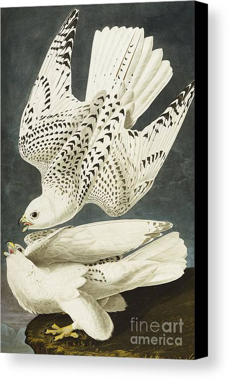 Iceland Or Jer Falcon. Gyrfalcon (falco Rustiocolis) From 'the Birds Of America' (aquatint & Engraving With Hand-colouring) By John James Audubon (1785-1851) Canvas Print featuring the drawing Iceland Or Jer Falcon by John James Audubon