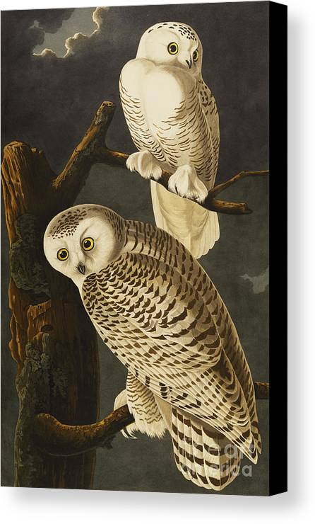 Snowy Owl (nyctea Scandiaca) Plate Cxxi From 'the Birds Of America' (aquatint & Engraving With Hand-colouring) By John James Audubon (1785-1851) Canvas Print featuring the drawing Snowy Owl by John James Audubon