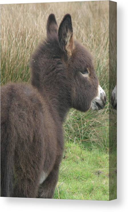 Irish Canvas Print featuring the photograph Irish Donkey Foal by Joseph Doyle