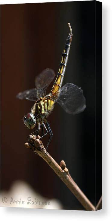 Blue Canvas Print featuring the photograph Dragonfly Handstand by Annie Babineau