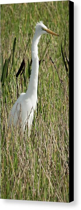 Great Canvas Print featuring the photograph Wading Great Egret by Patrick M Lynch
