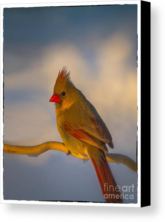 Cardinal Canvas Print featuring the photograph Cardinal by Warrena J Barnerd