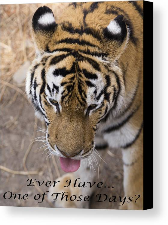 Tiger Canvas Print featuring the photograph Bengal Tiger Greeting Card by Todd M Bloomer