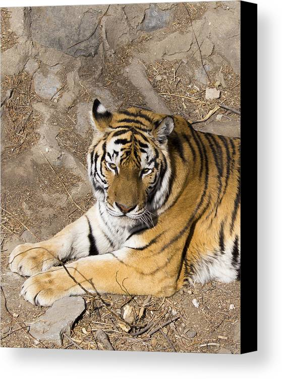 Tiger Canvas Print featuring the photograph Bengal Tiger by Todd M Bloomer