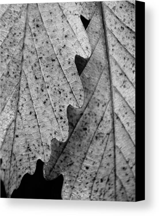 Nature Canvas Print featuring the photograph Chestnut Oak Leaves by Julie Grandfield