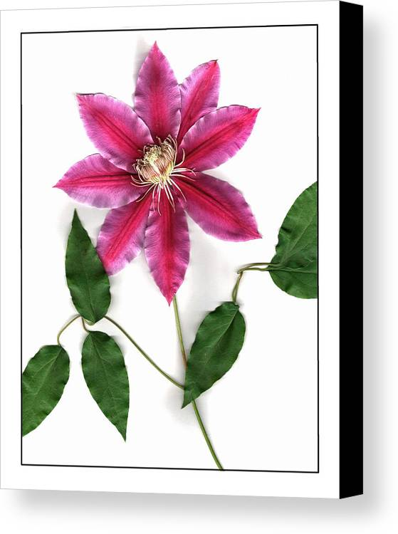 Flower Canvas Print featuring the pyrography Clematis by Gary Lobdell