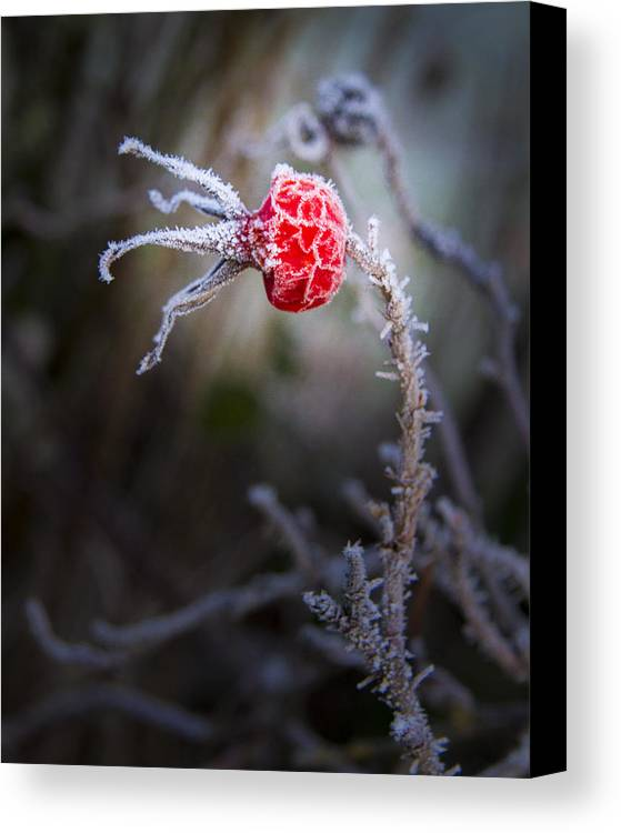 Weather Canvas Print featuring the photograph Frosted by Jean Noren
