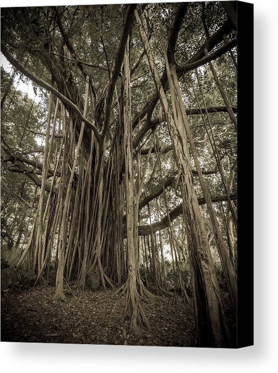 3scape Photos Canvas Print featuring the photograph Old Banyan Tree by Adam Romanowicz