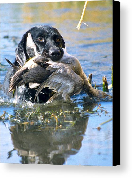 Labs Canvas Print featuring the photograph Pintail Retrieve by Mike Gnatkowski