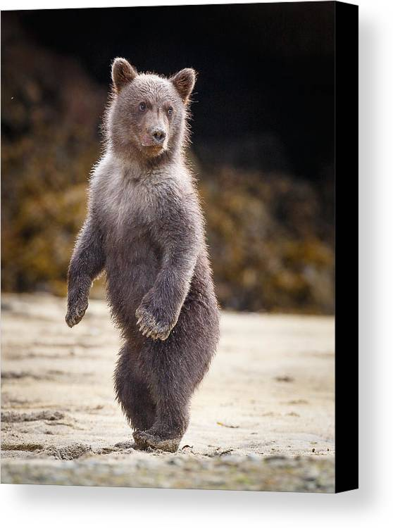 Alaska Canvas Print featuring the photograph Precious Grizzly Cub by Ronald Shue