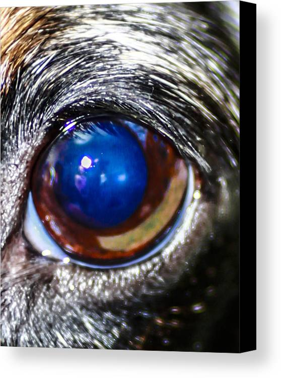 Wiener Dog Canvas Print featuring the photograph The Big Eye by Stephen Brown