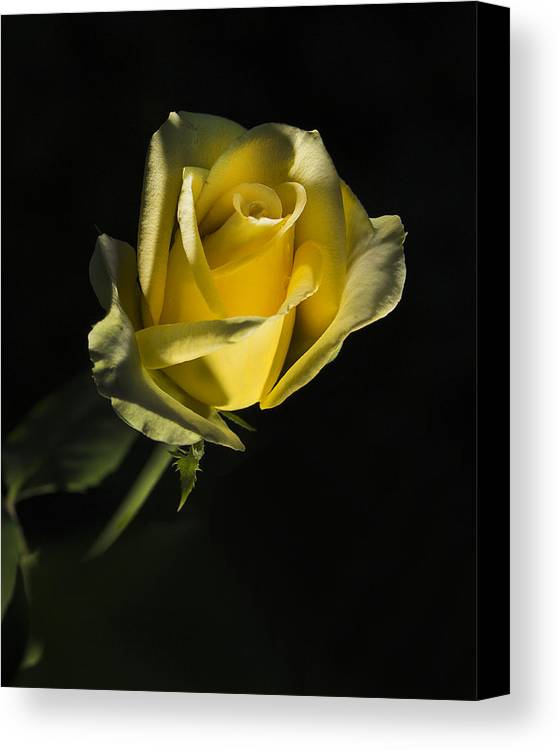 Greeting Card Canvas Print featuring the photograph Yellow Rose 11 by Todd M Bloomer