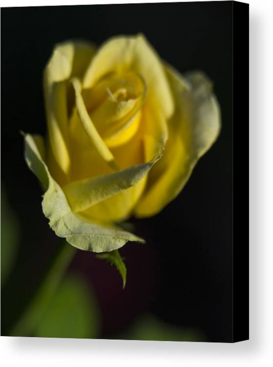 Flowers Canvas Print featuring the photograph Yellow Rose 12 by Todd M Bloomer