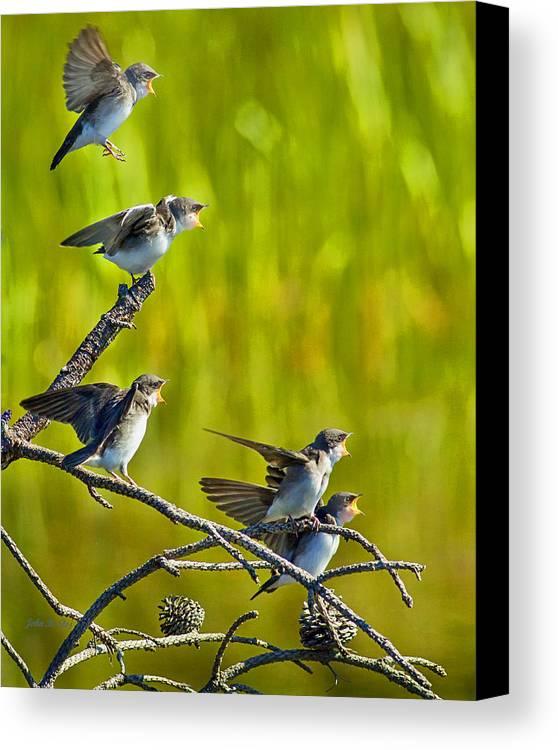 Tree Swallows Canvas Print featuring the photograph Baby Tree Swallows Feeding #1 by John Stoj