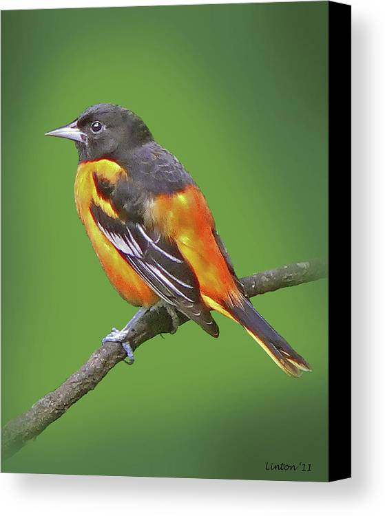 Baltimore Oriole Canvas Print featuring the photograph Baltimore Oriole by Larry Linton
