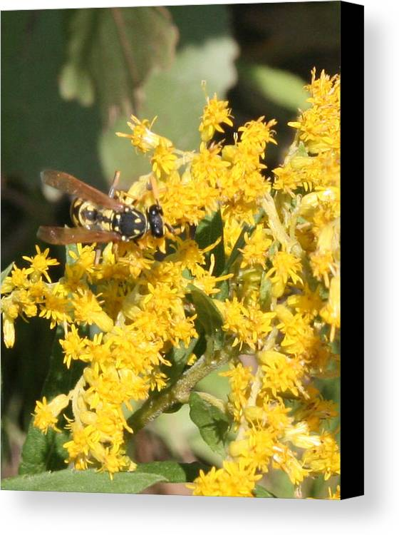 Yellow Canvas Print featuring the photograph Bee On Goldenrod by Kathy Peltomaa Lewis
