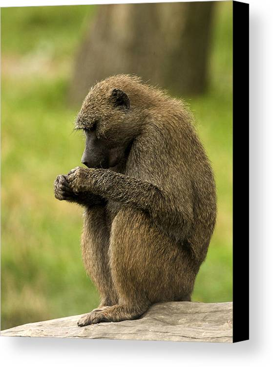 Monkey Canvas Print featuring the photograph Concentration. by Paul Scoullar