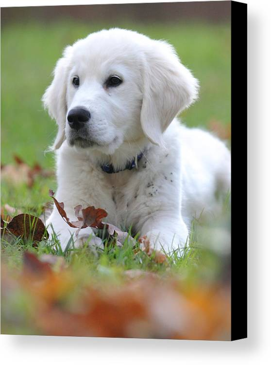 English Cream Golden Retriever Canvas Print featuring the photograph Fall Retriever by Coby Cooper