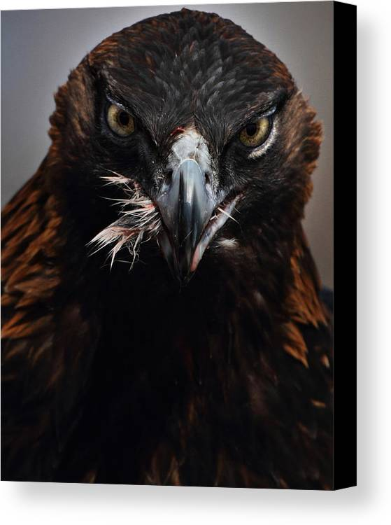 Vertical Canvas Print featuring the photograph Golden Eagle Feeding by Pat Gaines