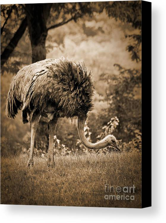African Canvas Print featuring the photograph Ostrich by Arne Hansen