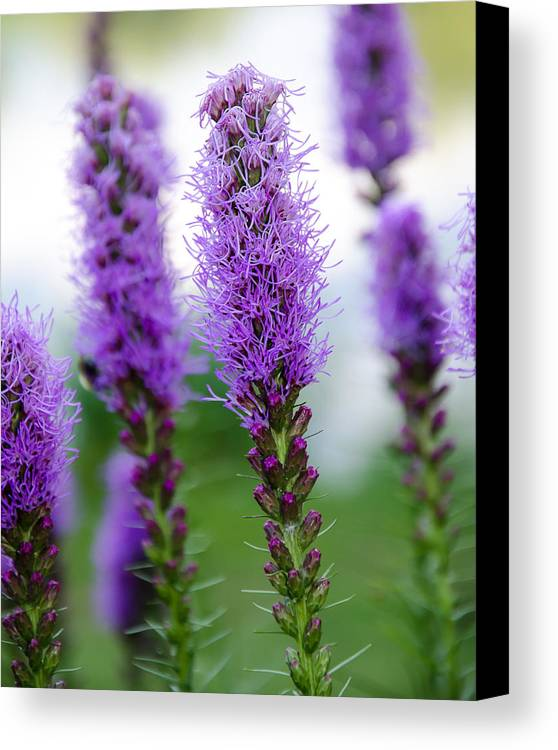 Plants Canvas Print featuring the photograph Purple Blazing Star by Craig Levin