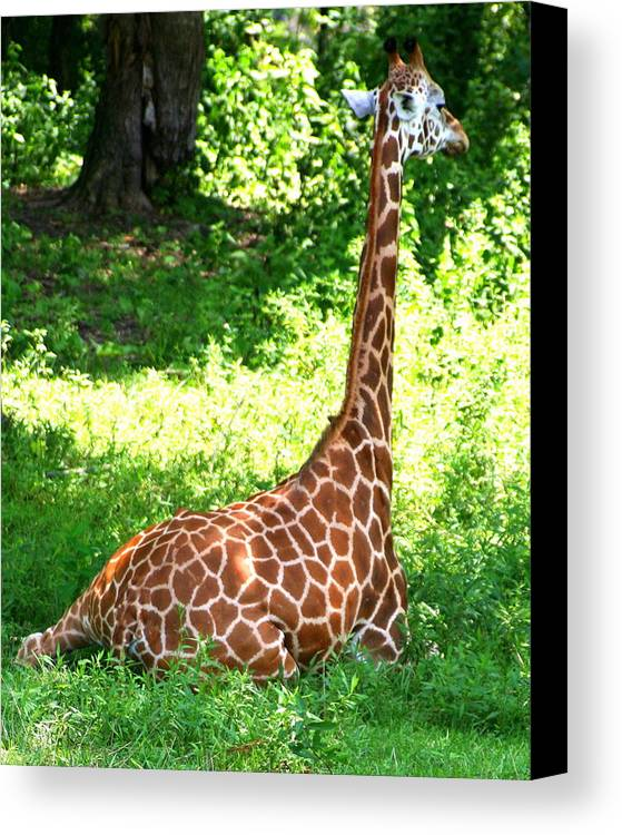 Giraffe Canvas Print featuring the photograph Rothschild Giraffe by Laurel Talabere