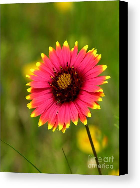 Floral Canvas Print featuring the photograph Indian Blanket by Paul Anderson