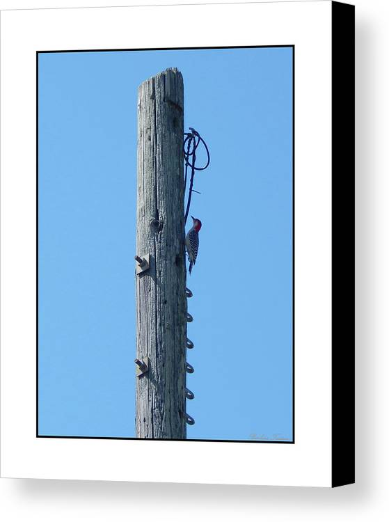 Barbara Tristan Canvas Print featuring the photograph #866x Woodpecker by Barbara Tristan