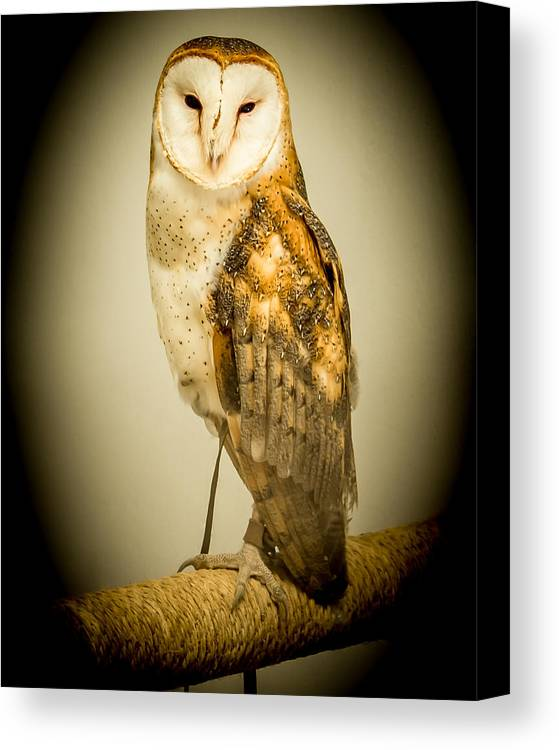 Canvas Print featuring the photograph Barn Owl by Reed Tim