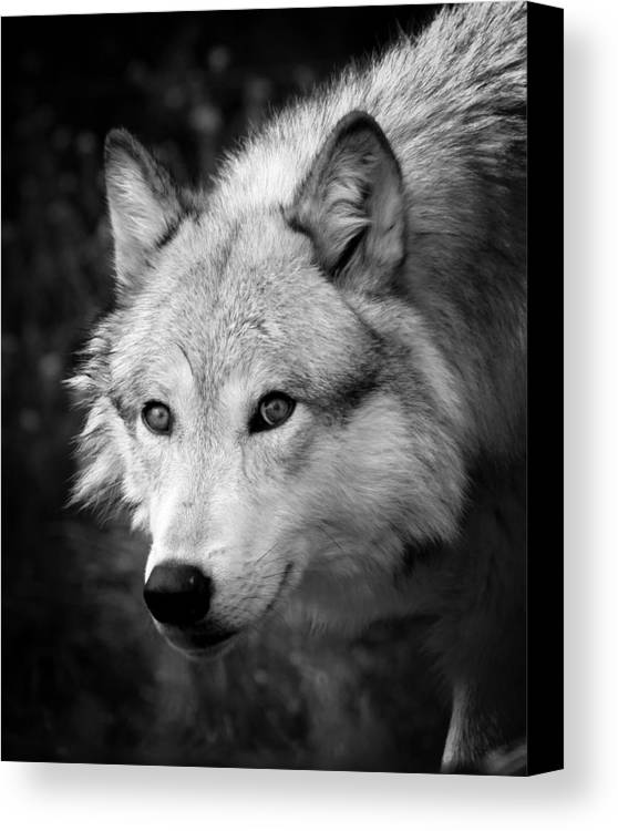 Black And White Wolf Canvas Print / Canvas Art by Steve ... |White Wolf And Black Wolf Art