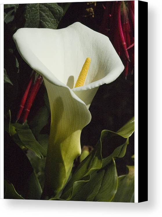 Flower Canvas Print featuring the photograph Calla Lily by Jerry Weinstein