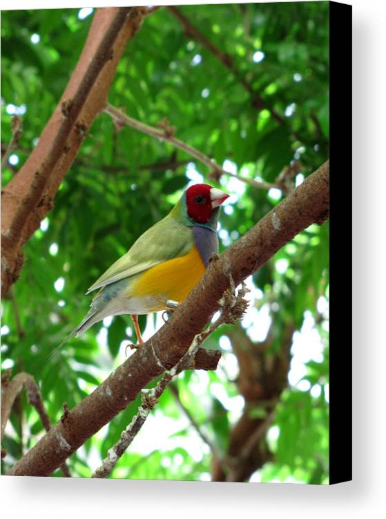 Finch Canvas Print featuring the photograph Colorful Finch by George Jones