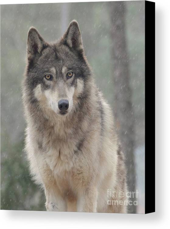 Wolf Wolves Wolf Dog Animals Wildlife Snow Eyes Outdoors Canvas Print featuring the photograph In The Snow by Robert Buderman