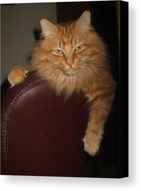 Cat Amimal Ginger Canvas Print featuring the photograph Gday by Bethwyn Mills