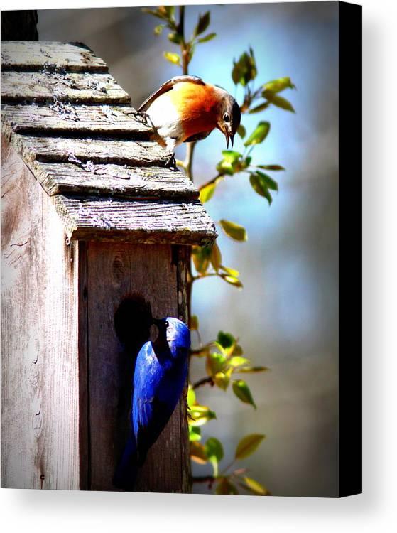 Eastern Bluebird Canvas Print featuring the photograph Img_1154 - Eastern Bluebird by Travis Truelove