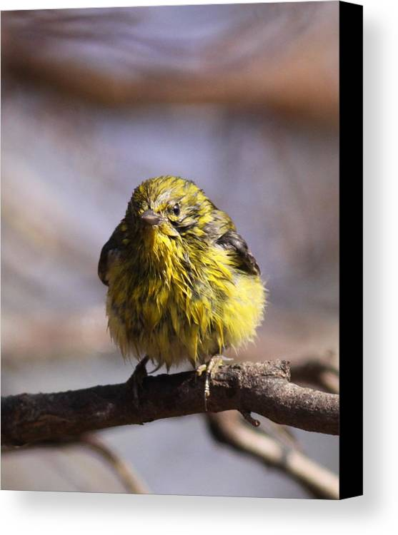 Pine Warbler Canvas Print featuring the photograph Img_9853 - Pine Warbler - Very Wet by Travis Truelove