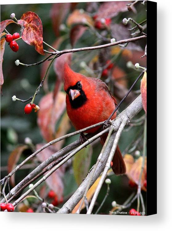 Northern Cardinal Canvas Print featuring the photograph Img_9971-023 - Northern Cardinal by Travis Truelove