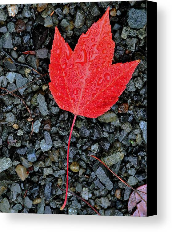 Leaf Canvas Print featuring the photograph Red Leaf Almost Alone by David Lyman