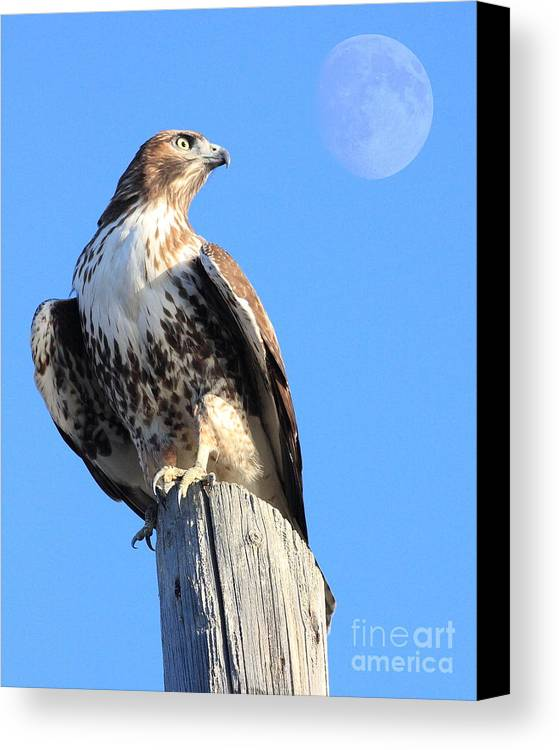 Wingsdomain Canvas Print featuring the photograph Red Tailed Hawk And Moon by Wingsdomain Art and Photography