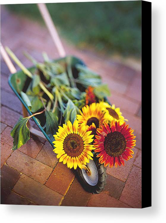 Sunflower Canvas Print featuring the photograph Sunflowers by Robert Ponzoni