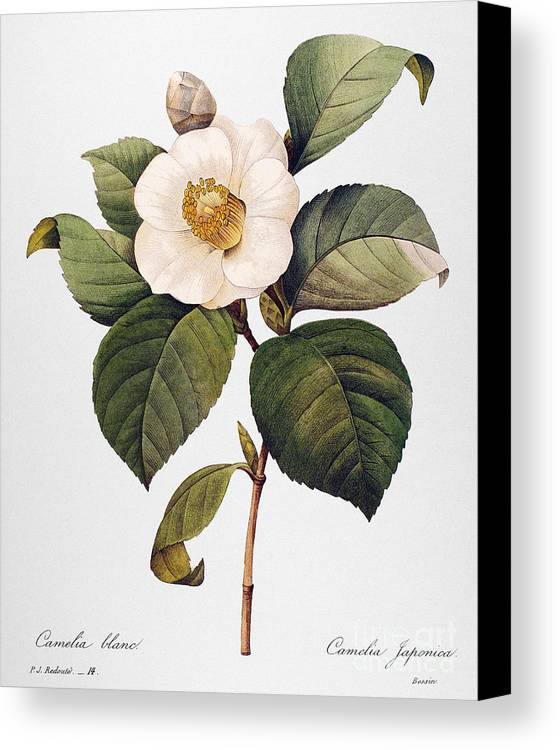 1833 Canvas Print featuring the photograph White Camellia by Granger